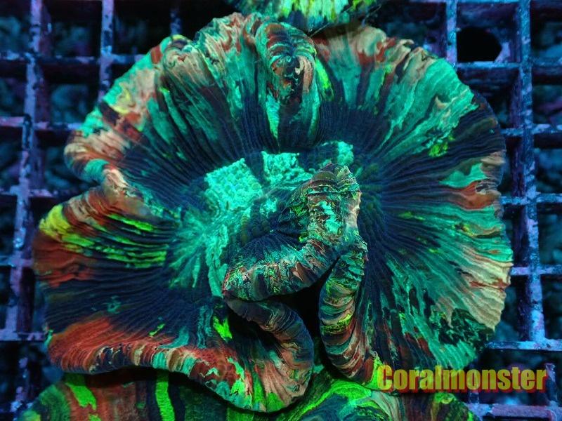 ブレインコーラル(Brain coral) ジャカルタ産 003
